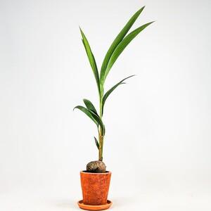 Fidan Burada - Cocos Palmiyesi - Terra Cota Saksılı - Cocos Nucifera 140-150 Cm