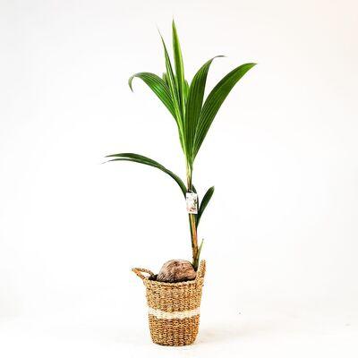 Cocos Palmiyesi - Hasır Derin Beyaz Saksılı - Cocos Nucifera 140-150 Cm