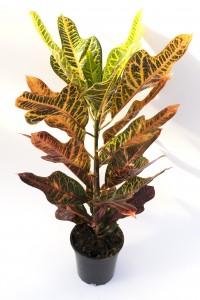 Fidan Burada - Croton Excellent-Codiaeum variegatum Excellent 60-70 Cm
