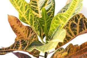 Croton Excellent-Codiaeum variegatum Excellent 60-70 Cm - Thumbnail