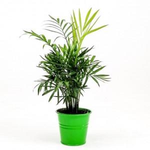 Fidan Burada - Dağ Palmiyesi 30-40cm Yeşil Dekoratif Saksılı Chamaedorea Elegans