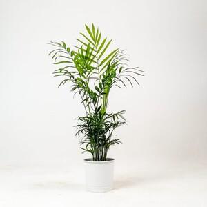Fidan Burada - Dağ Palmiyesi -Beyaz Saksılı 40-50cm Chamaedorea Elegans