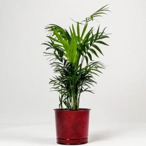 Fidan Burada - Dağ Palmiyesi -Bordo Saksılı 40-50cm Chamaedorea Elegans