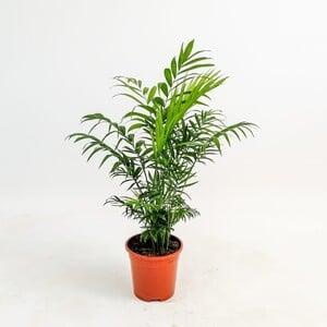 Fidan Burada - Dağ Palmiyesi - Chamaedorea Elegans 50-70 Cm
