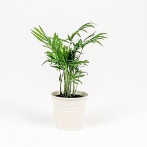 Fidan Burada - Dağ Palmiyesi-Chamaedorea Elegans-Beyaz Saksılı - Mini Boy