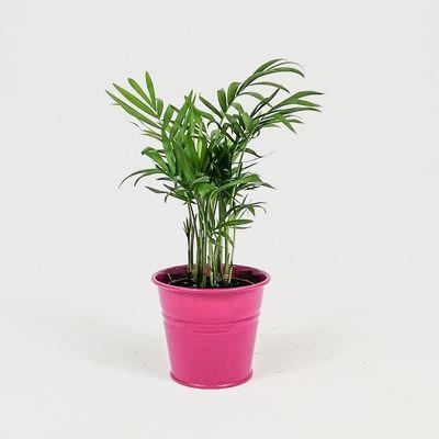 Dağ Palmiyesi-Chamaedorea Elegans-Fuşya Saksılı - Mini Boy