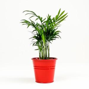 Fidan Burada - Dağ Palmiyesi-Chamaedorea Elegans-Kırmızı Saksılı - Mini Boy