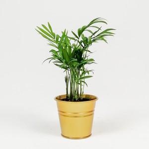 Fidan Burada - Dağ Palmiyesi-Chamaedorea Elegans-Gold Saksılı - Mini Boy