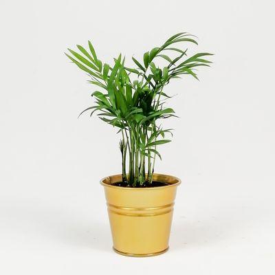 Dağ Palmiyesi-Chamaedorea Elegans-Gold Saksılı - Mini Boy