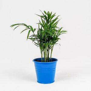 Fidan Burada - Dağ Palmiyesi-Chamaedorea Elegans-Mavi Saksılı - Mini Boy