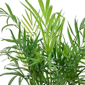 Dağ Palmiyesi-Chamaedorea Elegans-80-100 Cm - Thumbnail