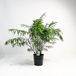 Fidan Burada - Dağ Palmiyesi-Chamaedorea Elegans-80-100 Cm