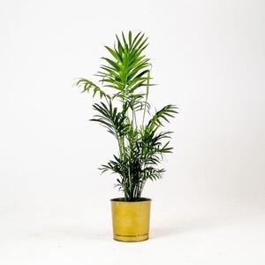 Ücretsiz Kargo - Dağ Palmiyesi -Gold Saksılı 60cm Chamaedorea Elegans