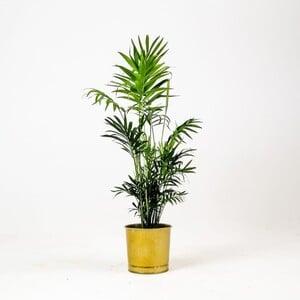 Fidan Burada - Dağ Palmiyesi -Gold Saksılı 40-50cm Chamaedorea Elegans