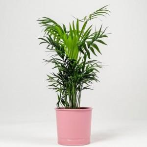 Fidan Burada - Dağ Palmiyesi - Pembe Saksılı 40-50cm Chamaedorea Elegans