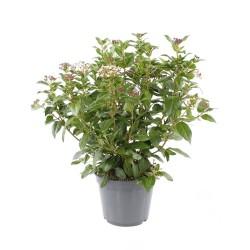 Fidan Burada - DEFNE YAPRAKLI KARTOPU (Viburnum Tinus)