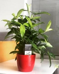 Fidan Burada - Dekoratif Saksılı Dracaena Surculosa-Japon Bambusu-İthal 40 Cm