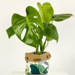 Fidan Burada - Deve Tabanı Bitkisi - Yaprak Desenli Plant Basket 30-40cm