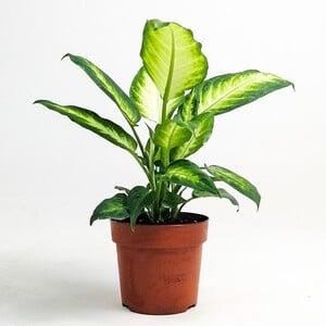 Difenbahya Bitkisi (Dieffenbachia Camilla) 30-40 Cm - Thumbnail