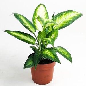Fidan Burada - Difenbahya Bitkisi (Dieffenbachia Camilla) 30-40 Cm