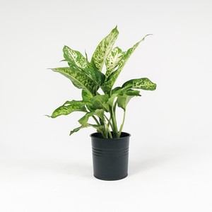 Fidan Burada - Difenbahya Bitkisi (Dieffenbachia Mars) 30-40 Cm