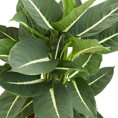Difenbahya Bitkisi-Yeşil Büyü(Dieffenbachia Green Magic)