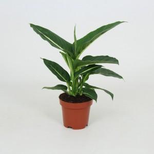 Fidan Burada - Difenbahya Bitkisi-Yeşil Büyü(Dieffenbachia Green Magic)
