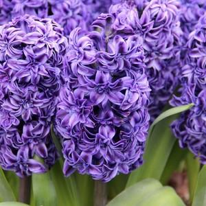 Fidan Burada - Donker Blauw Sümbül Çiçeği Soğanı-İthal-3 Adet