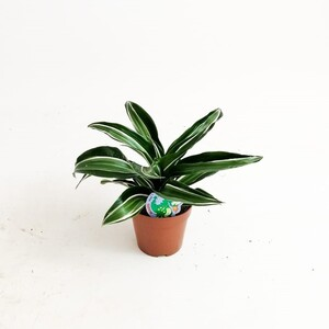 Fidan Burada - Dracaena Jade Jewel -Mini Boy