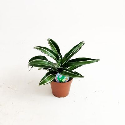 Dracaena Jade Jewel -Mini Boy