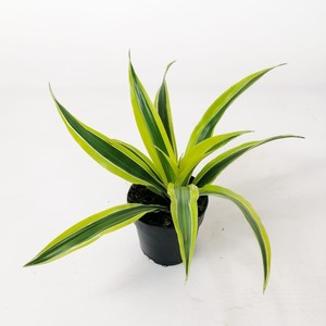 Fidan Burada - Dracaena Lemon Lime -Mini Boy