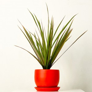 Fidan Burada - Dracaena Marginata Bicolor - Curvy Kırmızı Saksılı 30-40cm