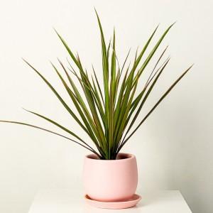 Fidan Burada - Dracaena Marginata Bicolor - Curvy Pembe Saksılı 30-40cm