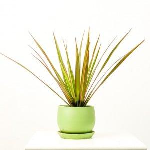 Fidan Burada - Dracaena Marginata Bicolor - Curvy Mint Yeşili Saksılı 30-40cm