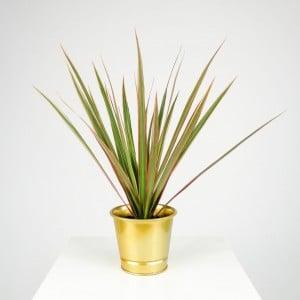 Fidan Burada - Dracaena Marginata Bicolor - Gold Saksılı 30-40cm