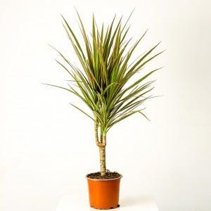 Fidan Burada - Dracaena Marginata Bicolor-Tek Gövdeli 40-60 cm