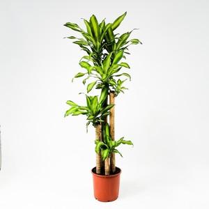 Fidan Burada - Dracaena Massengeana Bitkisi-Büyük Boy 4 Gövdeli 140-160 Cm