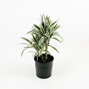 Dracaena White Stripe-2 Gövdeli 50-60 Cm - Thumbnail