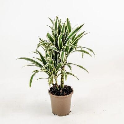 Dracaena White Stripe-2 Gövdeli 50-60 Cm