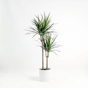 Fidan Burada - Dracaena Marginata-2 Gövdeli 80-100 cm
