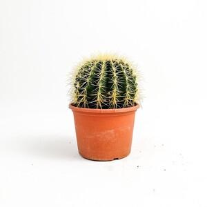 Fidan Burada - Echinocactus Grusonii-Ekinoks Kaktüs-14 cm Çap