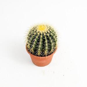 Fidan Burada - Echinocactus Grusonii-Ekinoks Kaktüs-16 cm Çap