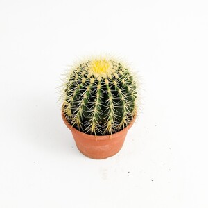 Fidan Burada - Echinocactus Grusonii-Ekinoks Kaktüs-20cm Çap