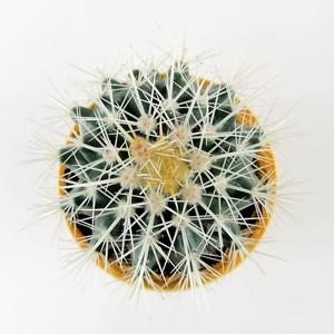Echinocactus Grusonii-Ekinoks Mini Boy - Thumbnail