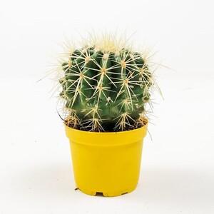 Fidan Burada - Echinocactus Grusonii-Ekinoks Mini Boy