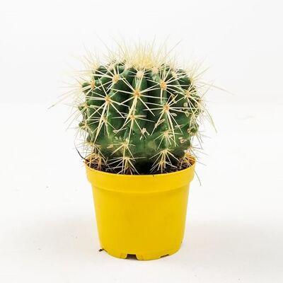 Echinocactus Grusonii-Ekinoks Mini Boy