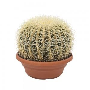 Fidan Burada - Echinocactus Grusonii-Ekinoks Kaktüs-27 cm Çap