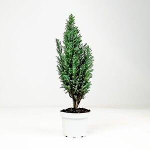 Fidan Burada - Ellwoodii Çam-30-40 Cm-İthal-Chamaecyparis Lawsoniana Ellwoodii