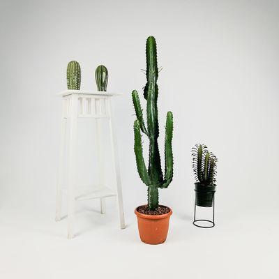 Euphorbia Acrurensis Kaktüs-70-80 cm