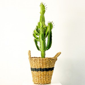 Fidan Burada - Euphorbia Acrurensis Kaktüs- Derin Hasır Saksılı Siyah 60-80cm